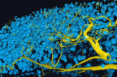 3D reconstruction of the Drosophila adult posterior midgut, the air-supplying trachea is shown in yellow and nuclei in of the gut epithelium in blue. Saskia Suijkerbuijk